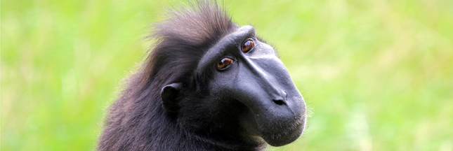 Espèces en danger : le macaque noir a de moins en moins la banane