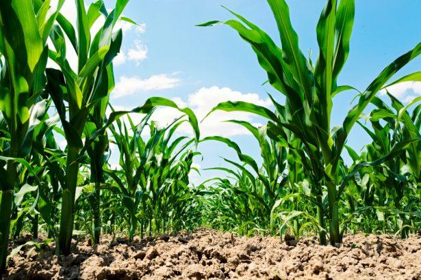risques, maïs OGM