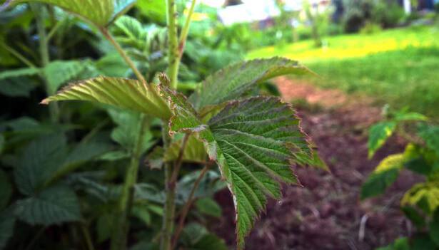 paillage fraisier framboisier