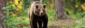 39 ours recensés dans les Pyrénées: mieux mais toujours insuffisant