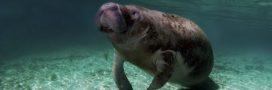 Les lamantins ne seraient plus en danger d'extinction mais…