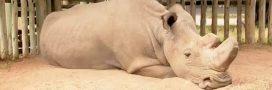 Le dernier rhinocéros blanc mâle a un profil sur Tinder
