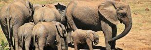Un chasseur meurt écrasé sous un éléphant tout juste abattu