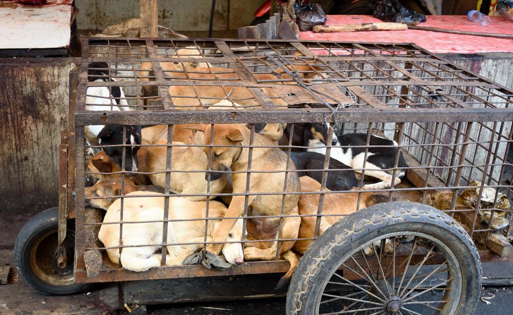 chiens yulin