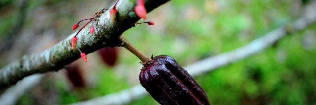 Quels défis pour la cacaoculture de demain?