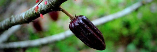 Forestera et la cacaoculture de demain