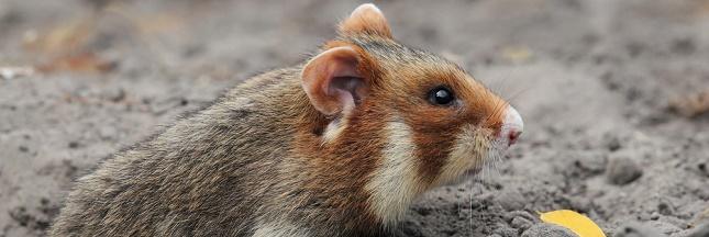 Pour protéger le Grand hamster d'Alsace, les agriculteurs passent aux doubles cultures