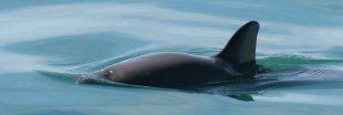 Panda des mers : évitera-t-on l'extinction ?