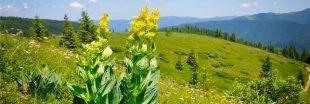 Aidez Gentiana Lutea à réimplanter la gentiane jaune en Auvergne