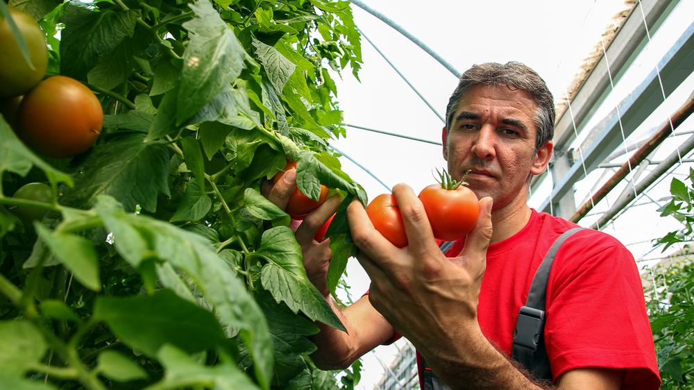 mafia tomate