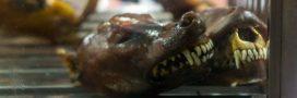 Bientôt la fin de la viande de chien au festival de Yulin?