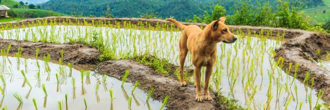 À Bali, 70.000 chiens sont tués et servis aux touristes tous les ans