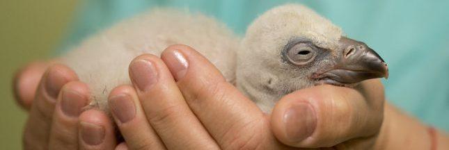 Vidéo : Au zoo d'Amsterdam, un bébé vautour naît avec 2 papas