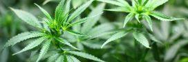 Le cannabis serait efficace contre les crises d'épilepsies