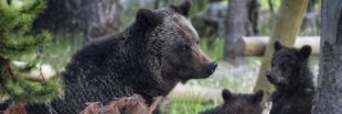 Fin des mesures de protection pour le grizzly de Yellowstone