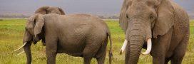 La Chine interdit enfin l'ivoire, son marché s'effondre en Asie