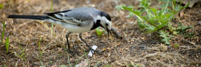 L'étrange réutilisation des mégots de cigarettes par les oiseaux