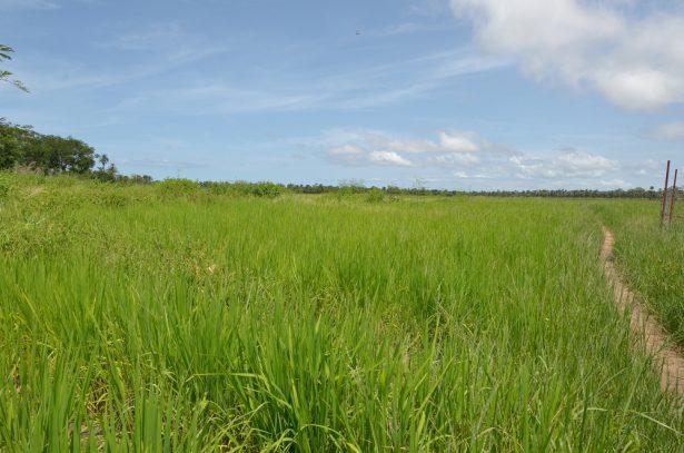 pôles de croissance agricole, rizières Sénégal