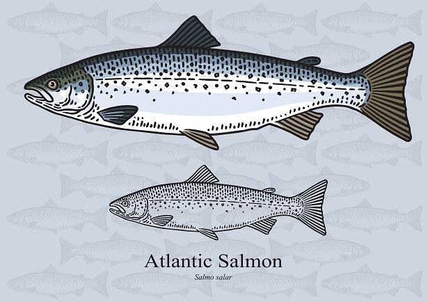 saumon atlantique