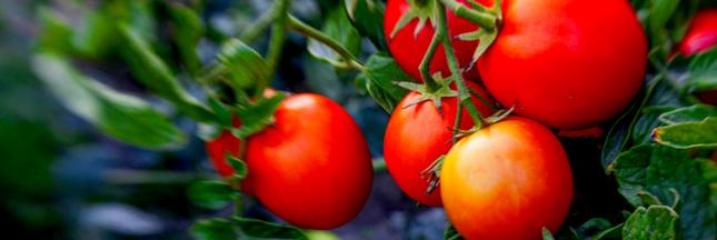 Voici la nouvelle tomate plus goûteuse et pour le circuit court