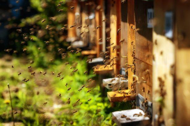 abeilles, néonicotinoïdes