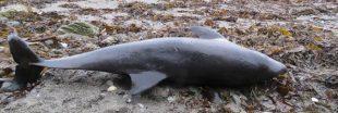 La pêche au chalut responsable des échouages massifs de dauphins sur les plages de l'Atlantique