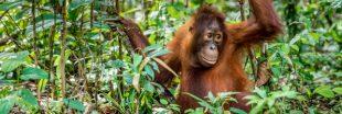 Unilever et Nestlé accusés de déforestation en Indonésie