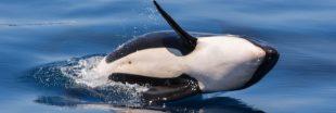 SeaWorld : mort du dernier bébé orque né en captivité