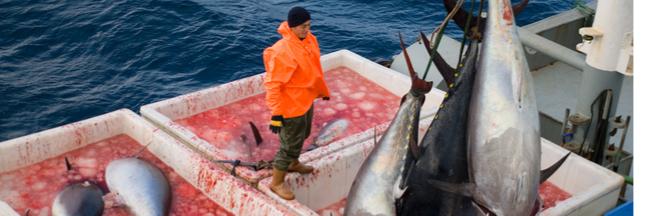Le géant de la conserve de thon mis en boite par Greenpeace