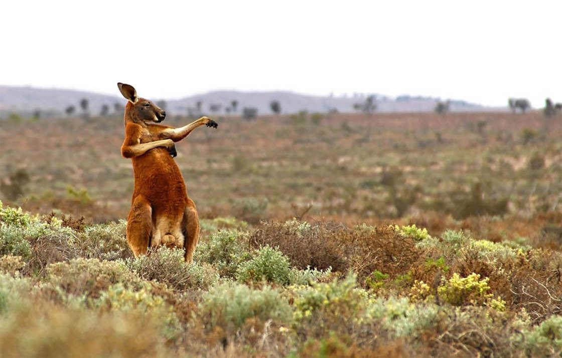 photos animaux kangourou