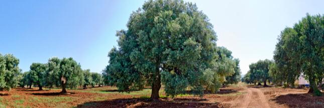 xylella fastidiosa maladie oliviers