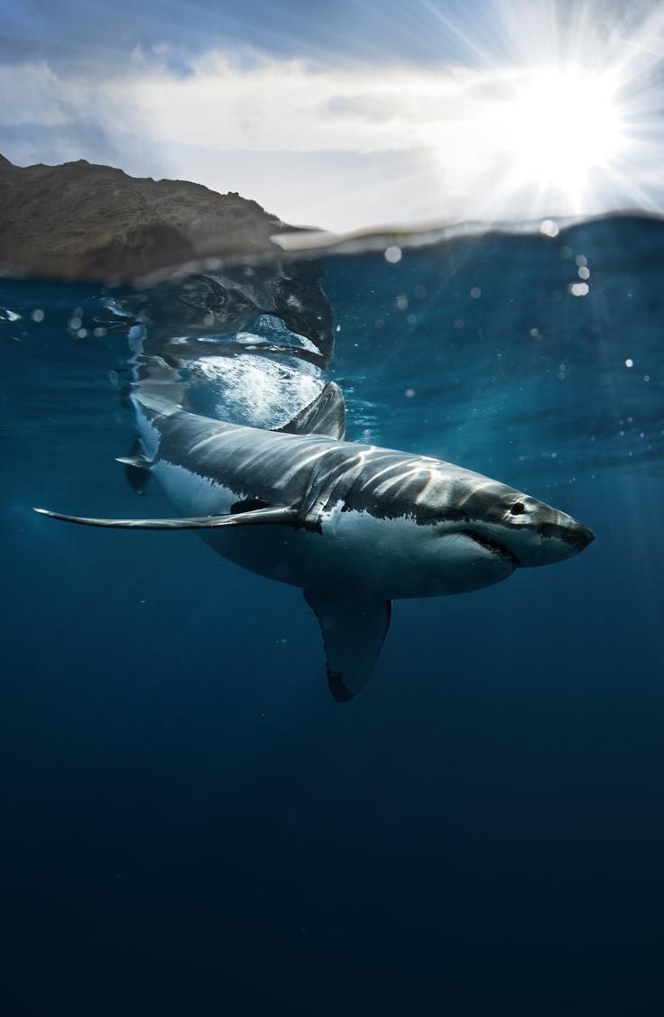 requins blancs captivité