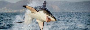Pourquoi vous ne verrez jamais de requins blancs dans un aquarium