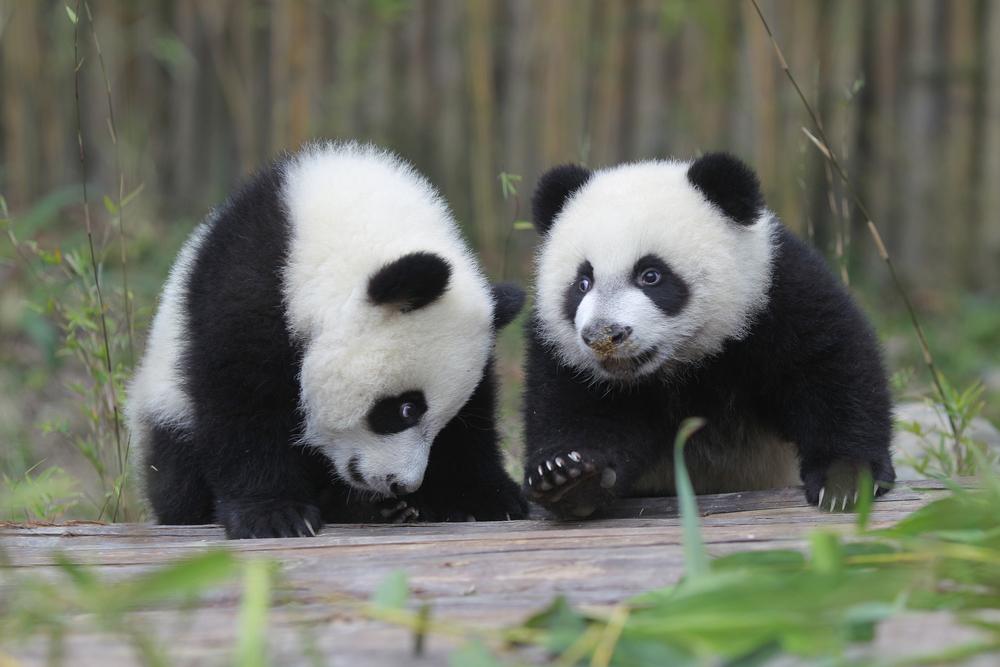 bebes panda