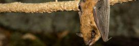 Chauve-souris enragée: comment éviter les contaminations?