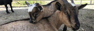 4 chèvres meurent en quelques heures à cause des visiteurs d'une ferme pédagogique