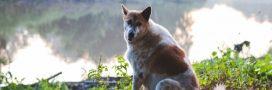 Cyanobactéries en Maine-et-Loire: huit chiens morts après une baignade