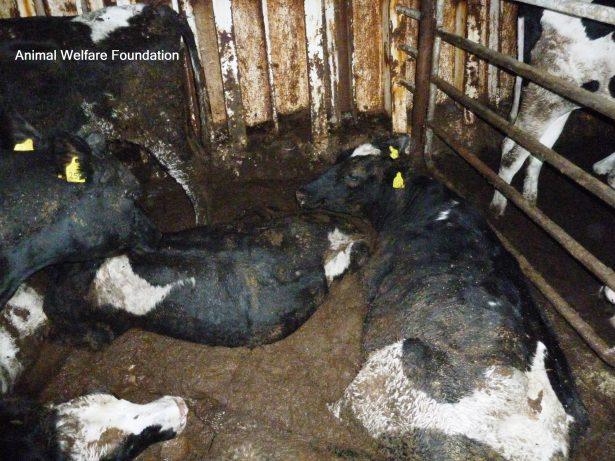 exportations de bétail