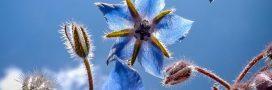 Bourrache, la petite fleur bleue qui rend heureux
