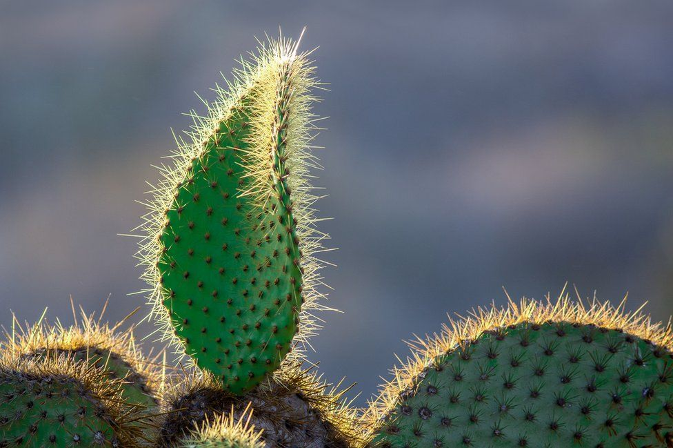 galapagos flore