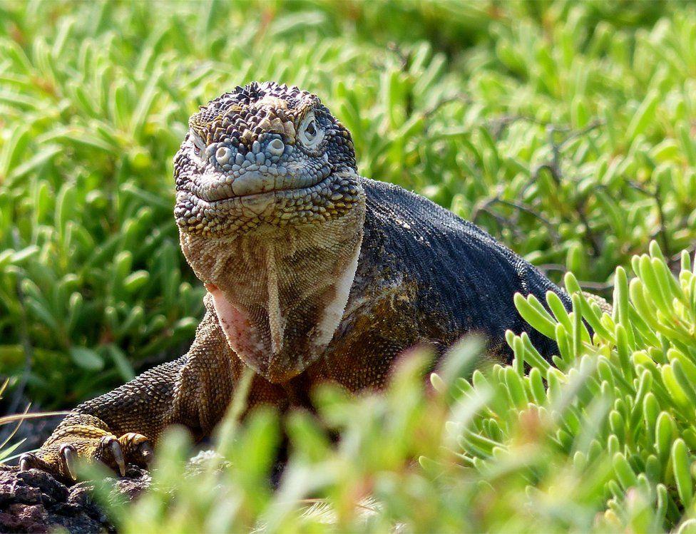 galapagos reptile