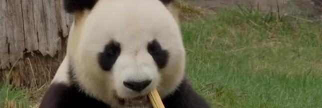Huan Huan, la femelle panda du zoo de Beauval, attend des jumeaux