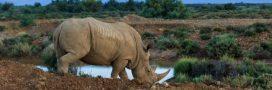 Controverse: des cornes de rhinocéros vendues aux enchères en Afrique du Sud