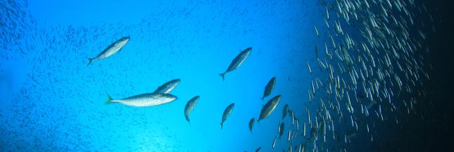 Lorient : 18 tonnes de thon rouge saisies à bord d'un chalutier
