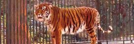 Le Kazakhstan va réintroduire des tigres après 70 ans d'absence