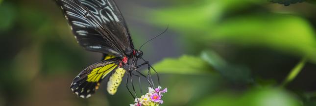 l 39 huile de palme met en danger le plus grand papillon du monde. Black Bedroom Furniture Sets. Home Design Ideas