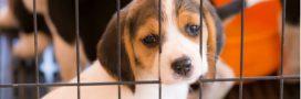 La Californie interdit la vente de chiens provenant d'élevages: victoire pour les animaux abandonnés