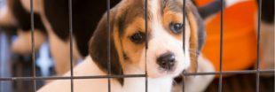La Californie interdit la vente de chiens provenant d'élevages : victoire pour les animaux abandonnés
