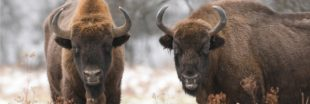 Consternation en Allemagne : le premier bison sauvage aperçu depuis 250 ans a été abattu
