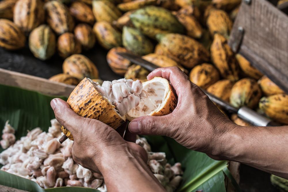 cacao deforestation